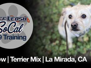 Arrow   Terrier Mix   La Mirada, CA