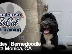 Bentley | Bernedoodle | Santa Monica, CA
