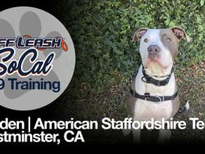 Gruden | American Staffordshire Terrier | Westminster, CA