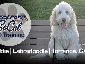 Freddie | Labradoodle | Torrance, Ca