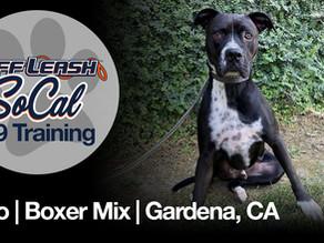 Oreo | Boxer Mix | Gardena, CA