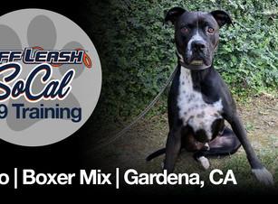 Oreo   Boxer Mix   Gardena, CA
