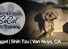 Nugget   Shih Tzu   Van Nuys, CA