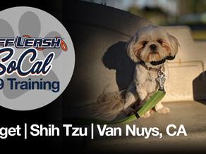 Nugget | Shih Tzu | Van Nuys, CA