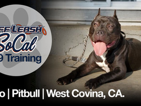 Kato | Pitbull | West Covina, CA.