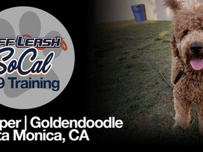 Cooper | Goldendoodle | Santa Monica, CA