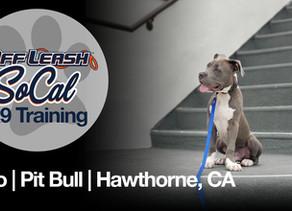 Leo | Pit Bull | Hawthorne, CA