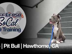 Leo   Pit Bull   Hawthorne, CA