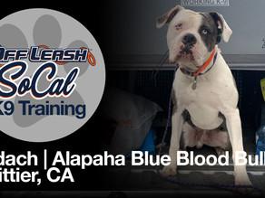 Bodach | Alapaha Blue Blood Bulldog | Whittier, CA