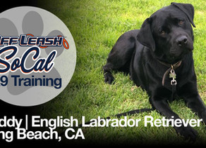 Buddy | English Labrador Retriever | Long Beach, CA