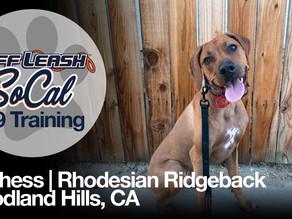 Duchess   Rhodesian Ridgeback   Woodland Hills, CA