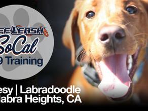 Jonesy | Labradoodle | La Habra Heights, CA