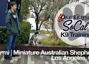 Stormi | Miniature Australian Shepherd | Los Angeles, CA