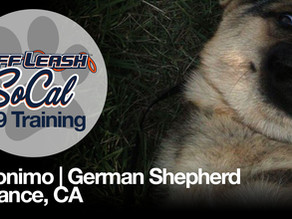 Geronimo | German Shepherd | Torrance, CA