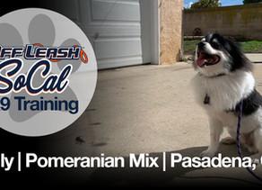 Sully   Pomeranian Mix   Pasadena, CA