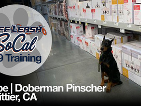 Kobe | Doberman Pinscher | Whittier, CA