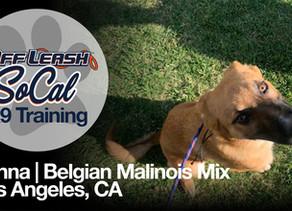 Belgian Malinois Mix | Los Angeles, CA