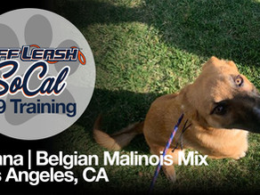 Belgian Malinois Mix   Los Angeles, CA