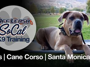 Gus | Cane Corso | Santa Monica, CA