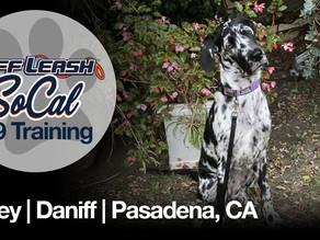 Bailey | Daniff | Pasadena, CA