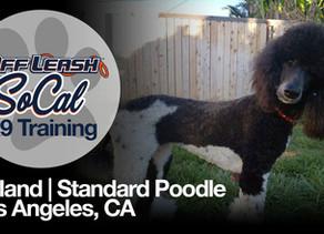 Iceland   Standard Poodle   Los Angeles, CA