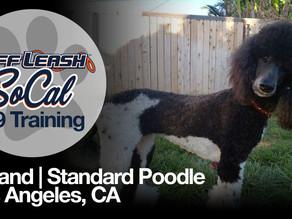 Iceland | Standard Poodle | Los Angeles, CA