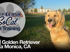 Leo | Golden Retriever | Santa Monica, CA