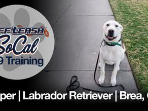 Cooper   Labrador Retriever   Brea, Ca