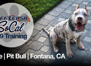 Ace | XL Pit Bull | Fontana, CA