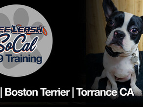Axl | Boston Terrier | Torrance, CA