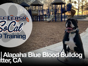 Kai | Alapaha Blue Blood Bulldog |Whitter, CA