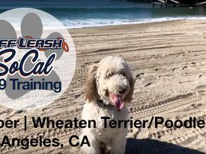 Jasper | Wheaten Terrier/ Poodle Mix | Los Angeles, CA