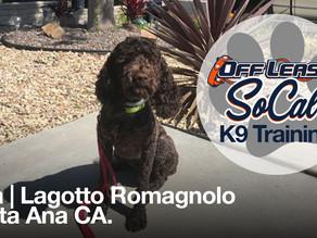 Lola   Lagotto Romagnolo   Santa Ana, CA.