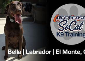 Bella| Lab| 4 Years Old| El Monte, CA