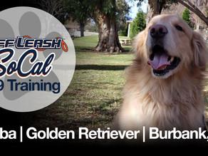 Bubba | Golden Retriever | Burbank, CA