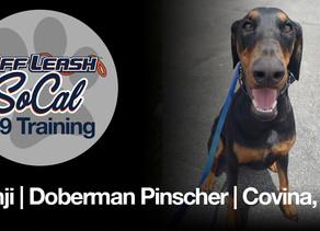 Benji   Doberman Pinscher   Covina, CA