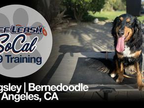 Kingsley   Bernedoodle   Los Angeles, CA