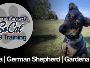 Cera   German Shepherd   Gardena, CA