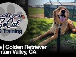 June   Golden Retriever   Fountain Valley, CA