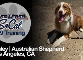 Kinley   Australian Shepherd    Los Angeles, CA