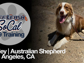 Kinley | Australian Shepherd |  Los Angeles, CA