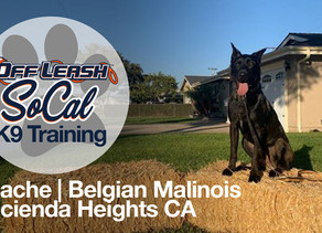 Apache | Belgian Malinois | Hacienda Heights, CA