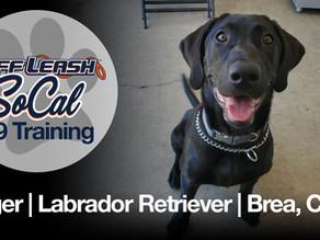 Roger | Labrador Retriever | Brea, CA