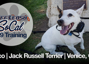 Paco   Jack Russell Terrier   Venice, CA