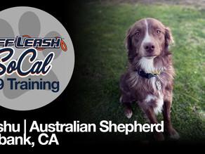 Mushu   Australian Shepherd   Burbank, CA