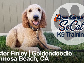 Mister Finley | Goldendoodle | Hermosa Beach, CA
