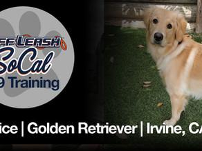 Eunice | Golden Retriever | Irvine, CA