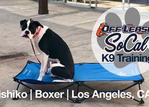 Shishiko | 6 months old  |  Boxer  |   Los Angeles, CA
