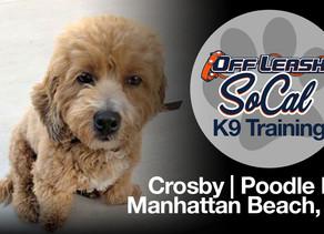 Crosby | Poodle Mix | Manhattan Beach, CA