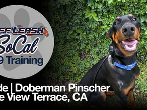 Clyde | Doberman Pinscher | Lake View Terrace, CA